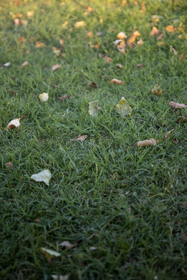 Autumn green grass or lawn background with fallen leaves, selective focus. Green grass or lawn with fallen leaves, illuminated by golden hour light. Selective royalty free stock images