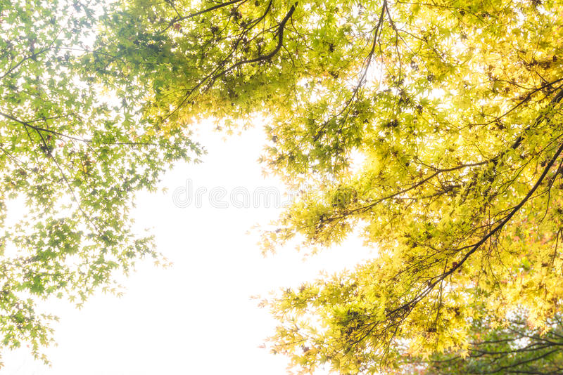 Autumn green maple leaves in sunny day background stock photography