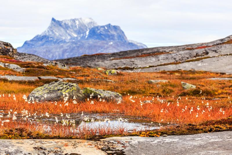Autumn greenlandic tundra plants and flowers with Sermitsiaq m. Ountain in the background, Nuuk, Greenland stock photo