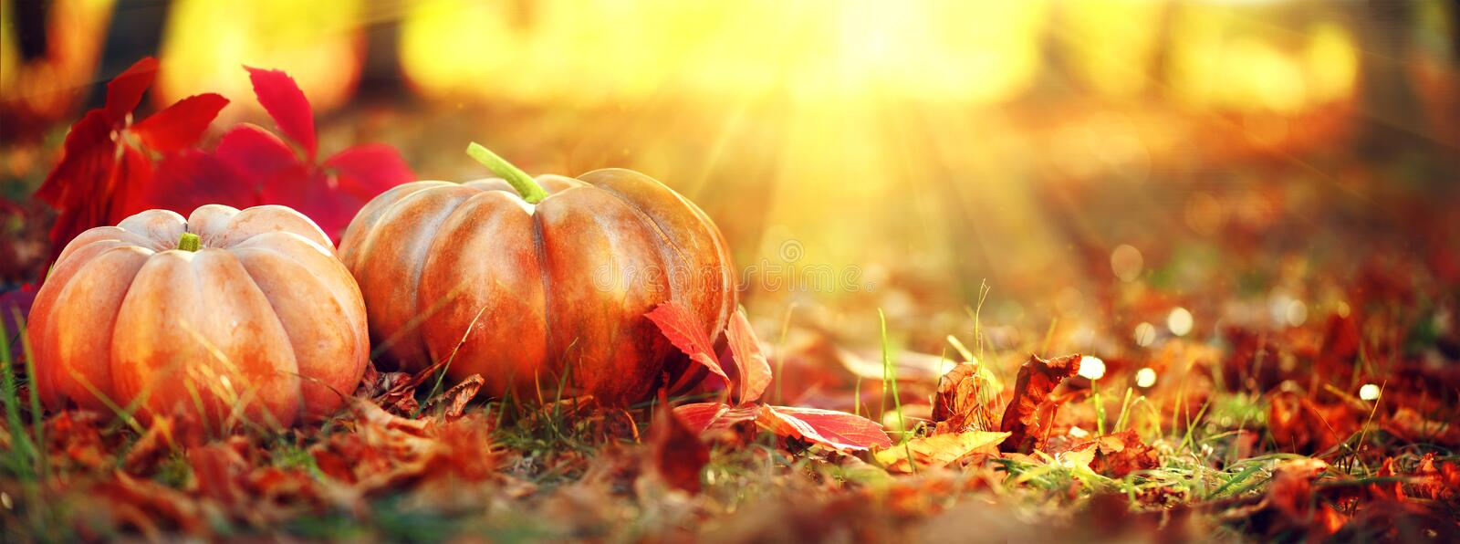 Autumn Halloween pumpkins. Orange pumpkins over nature background stock photo