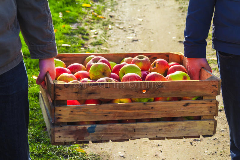 Autumn harvest apples wooden crate box carried people hand. Autumn harvest: apples in a wooden box carried by two people royalty free stock photography