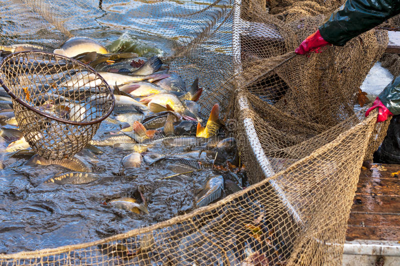 Autumn harvest of carps. From fishpond to christmas markets in Czech republic. In Central Europe fish is a traditional part of a Christmas Eve dinner stock photo
