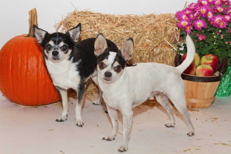 Autumn Harvest Chihuahuas stockfoto