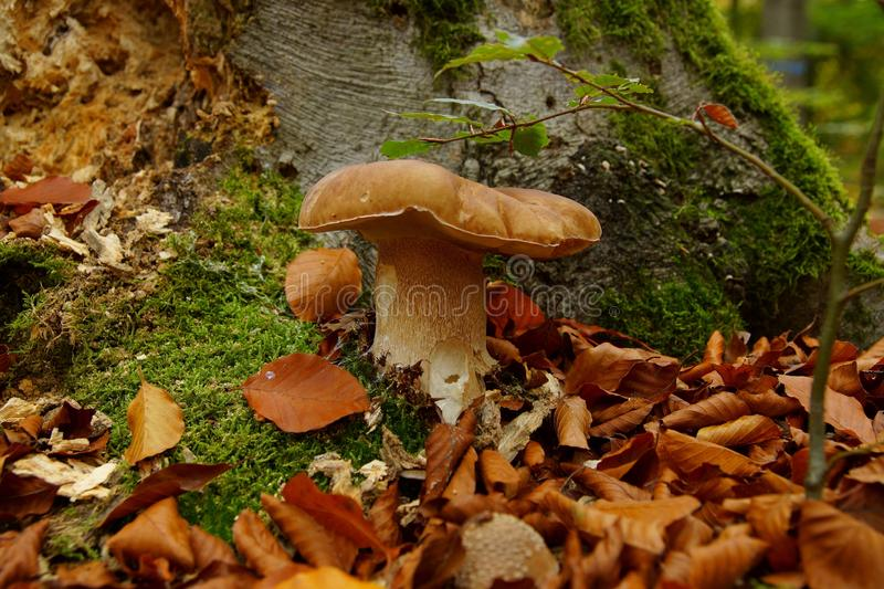 Fresh porcini cep, mushroom closeup on forest background. edible mushrooms boletus edulis king bolete known as porcini mushrooms royalty free stock photo