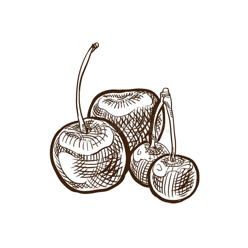 Autumn harvest. Vegetables and fruits. Sweet, ripe cherry on branch. royalty free illustration