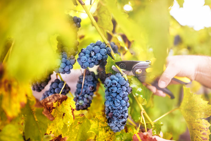 Autumn harvest on wineyard valley. agriculture man harvesting grapes stock photo