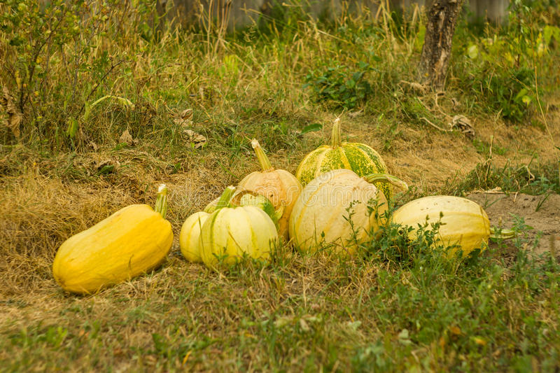 Autumn. Harvesting pumpkins stock photos