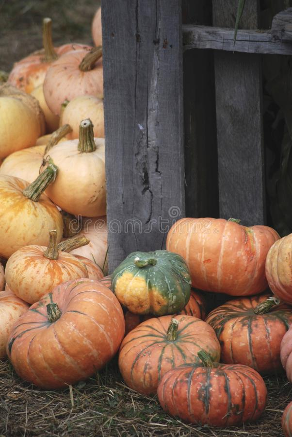 Autumn Heirloom Pumpkins på pumpalappen royaltyfri bild