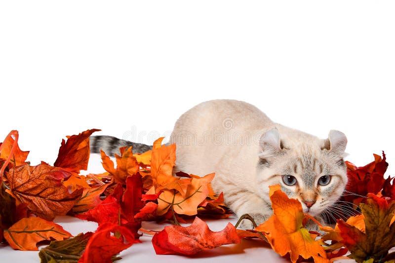 Autumn Highland Lynx kitten stock images
