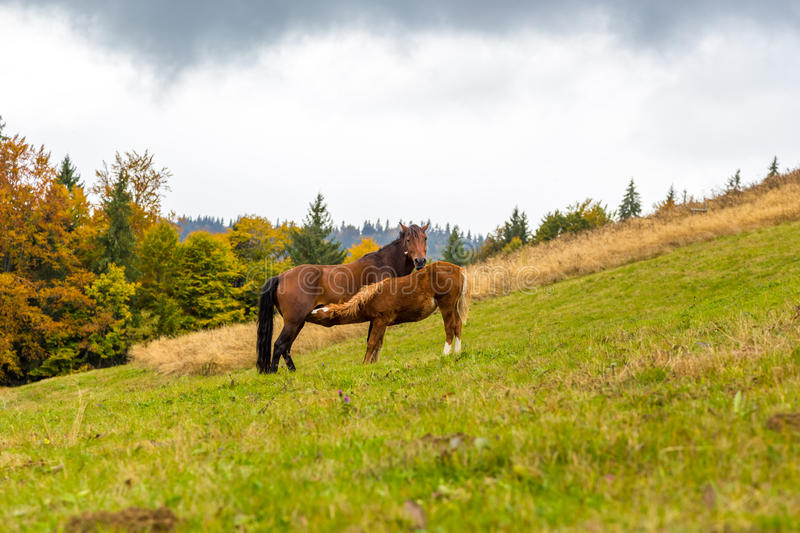 Autumn. Horse feeds foal in an alpine meadow royalty free stock photography