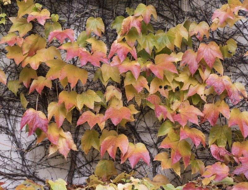 Autumn Ivy fotografia stock libera da diritti