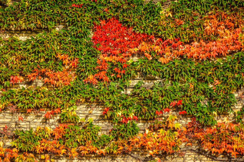 Autumn ivy at Aarhus University, Denmark. The ivy shows red autumn colors on the yellow stone brick walls at Aarhus University campus, Denmark stock photos