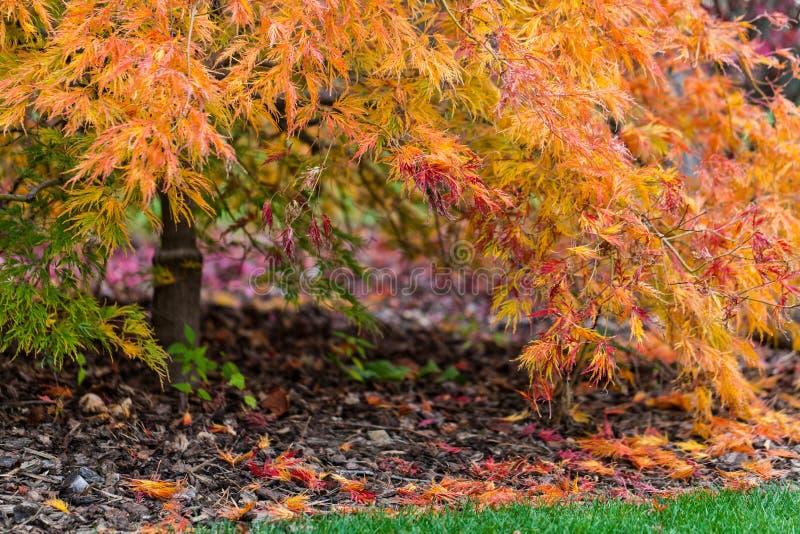 Autumn Japanese-de esdoornstructuurweergave van het kantblad van lagere takken royalty-vrije stock foto's