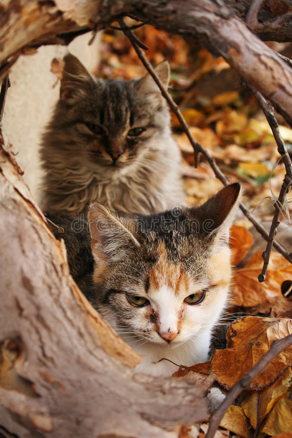 Autumn kittens. In colorful leafs royalty free stock photography