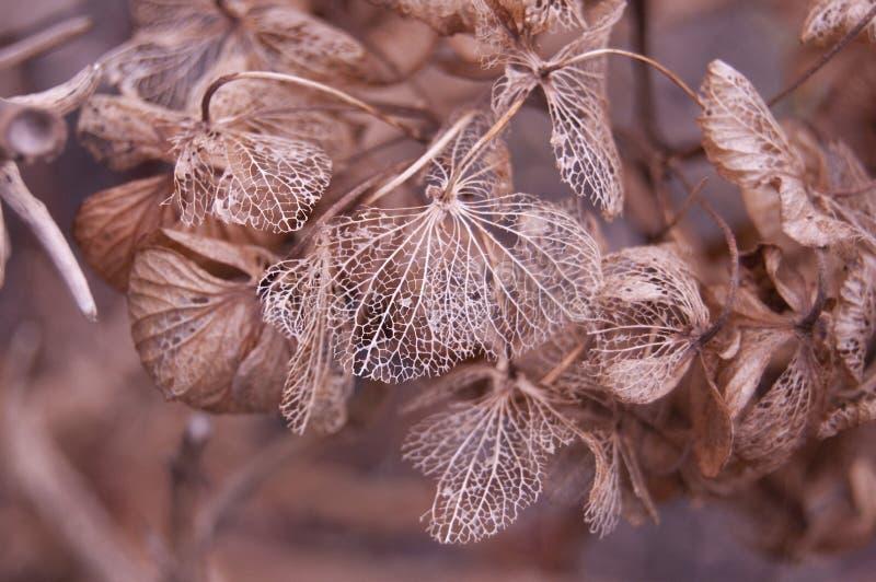 Autumn lace Hydrangea. Autumn Hydrangea, Dried Hydrangea Flowers, flower mesh. autumn lace royalty free stock photo