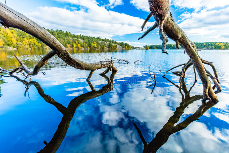 Autumn by a lake. Reflection of an old tree branch and clouds in a lake, autumn fores on background