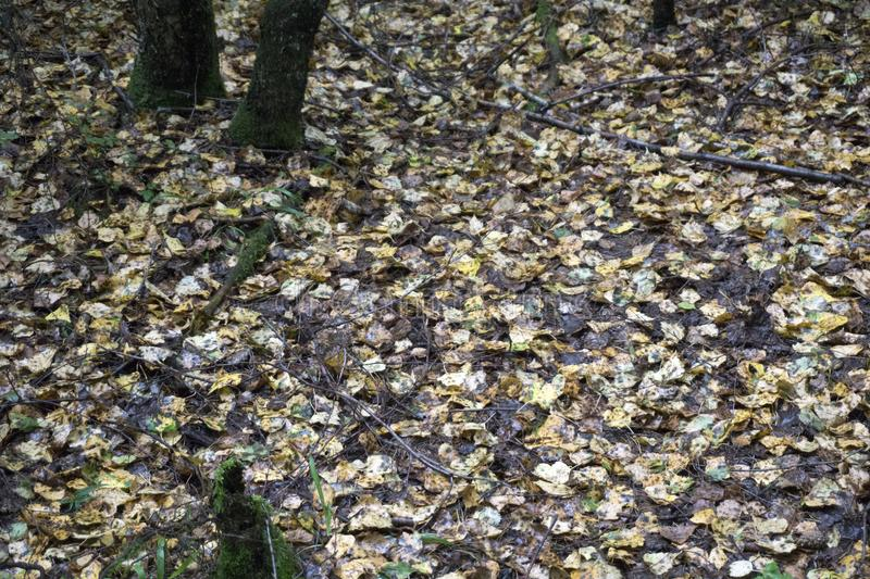 Autumn landscape- autumn park alley with bare trees and dry fallen colorful leaves royalty free stock photography