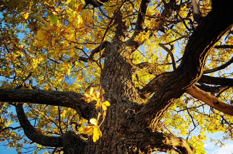 Autumn landscape background. Big oak tree with yellow leaves against clear blye sky in sunny day royalty free stock images