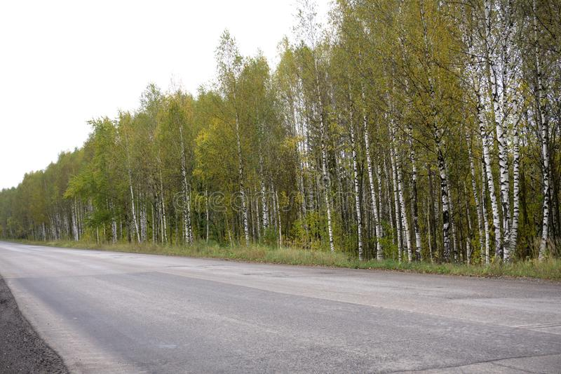 Autumn landscape of birch forest. Thin white bodies of birches with black stains.Very calm place on a wonderful autumn day. Tiny f royalty free stock photography
