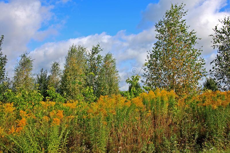 Autumn landscape with birches and blue sky. In the sunny day stock images