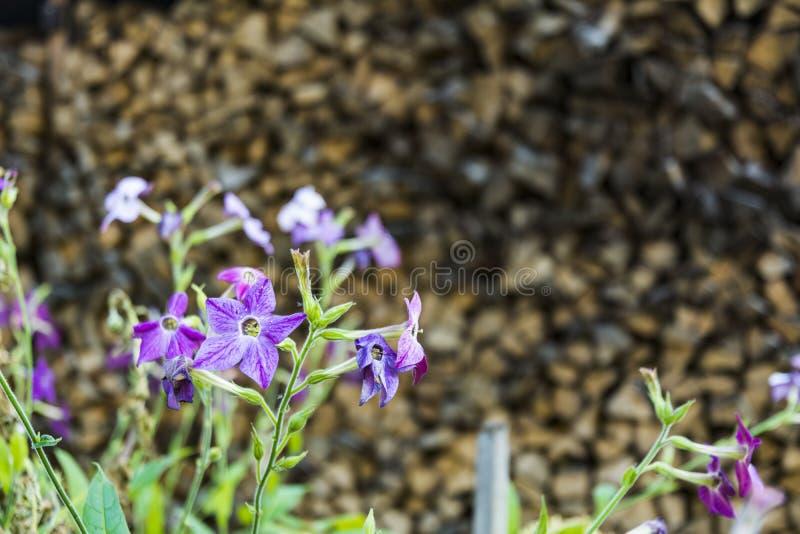 Autumn Landscape blauwe tuinbloemen op de achtergrond van gestapeld hout royalty-vrije stock afbeelding