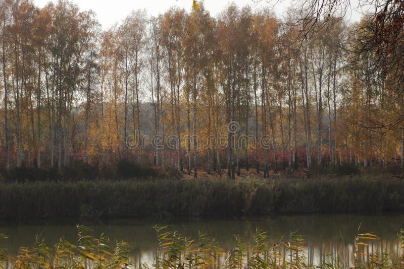 Autumn Landscape Boschetto della betulla sulla riva dello stagno fotografia stock