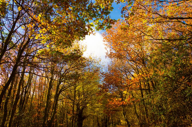 Autumn landscape of a colored autumnal trees with a beautiful blue sky behind. Aguilar de Campoo stock images