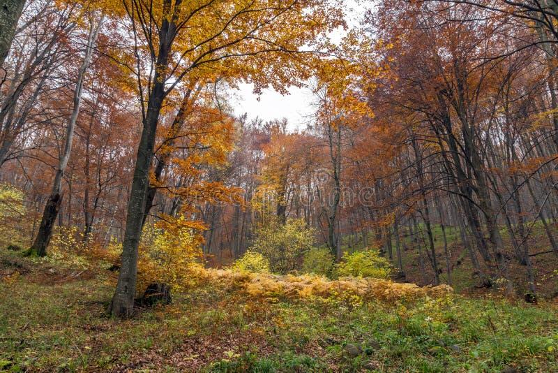 Autumn Landscape com árvores amarelas, montanha de Vitosha, Bulgária imagem de stock royalty free