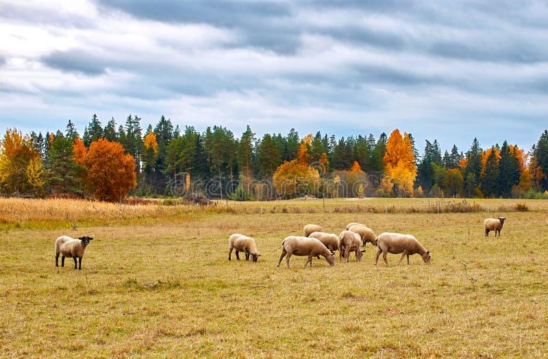 Autumn Landscape con las ovejas imagen de archivo libre de regalías
