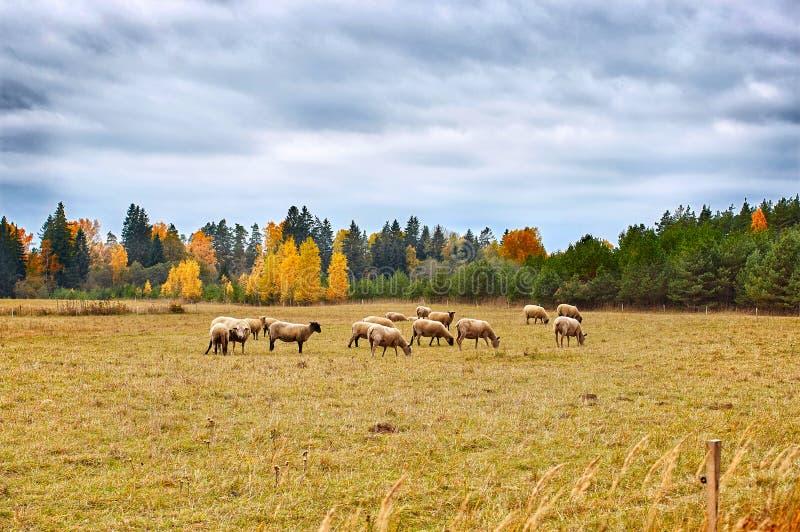 Autumn Landscape con las ovejas fotografía de archivo