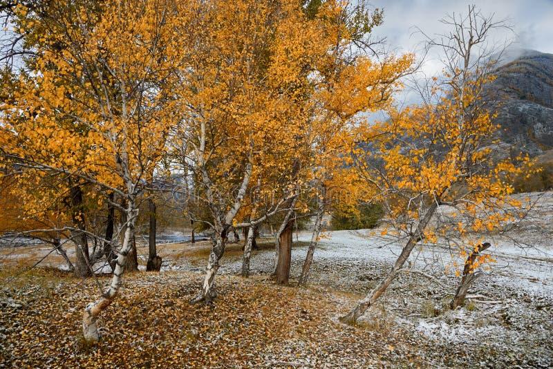 Autumn Landscape With ein Gruppe Birken mit hellem gelbem Laub und frisch gefallenem Schnee Berg Autumn Landscape With First S lizenzfreies stockbild