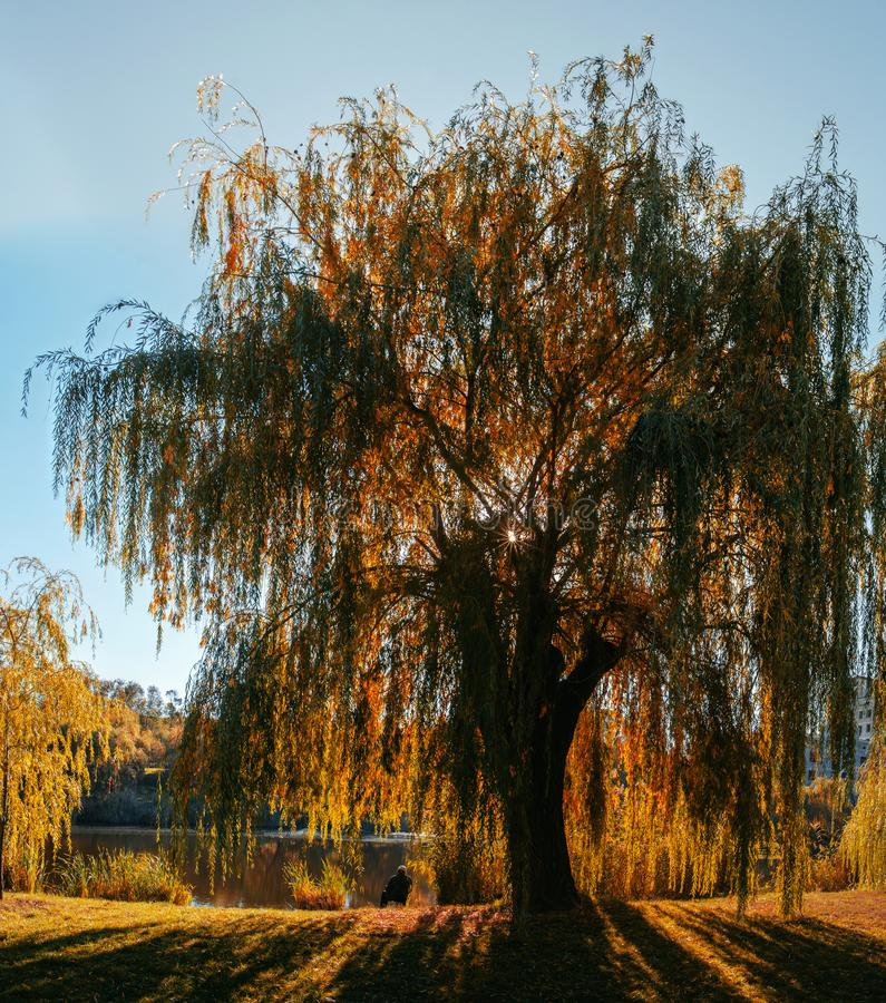 Autumn landscape, a fisherman sits by a pond under a yellow willow tree. Autumn landscape, a fisherman sitting by the pond under a yellow willow tree, relaxing stock images