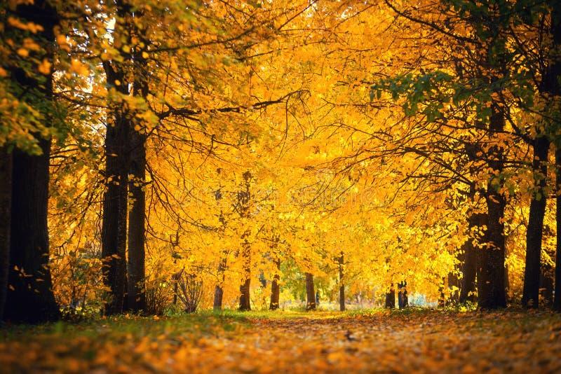Autumn Landscape Foresta coperta da fogliame giallo fotografia stock