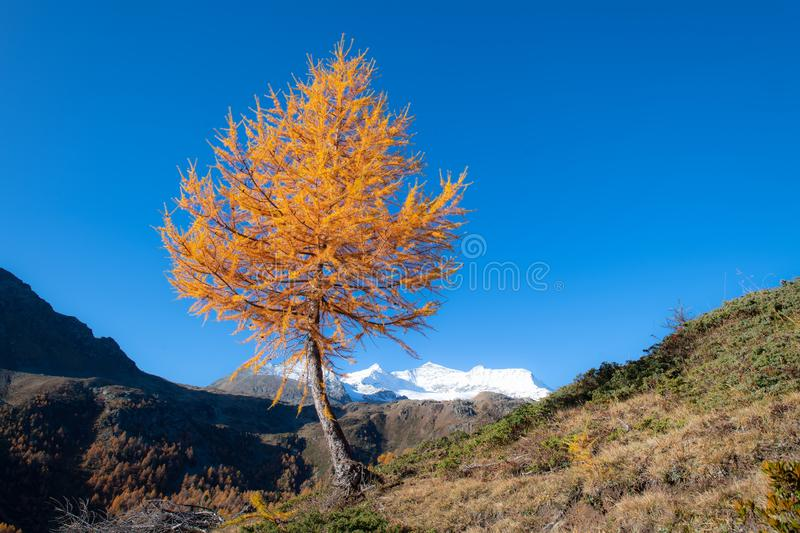 Autumn landscape of high mountains with a gold colored larch and a glacier in the background stock image