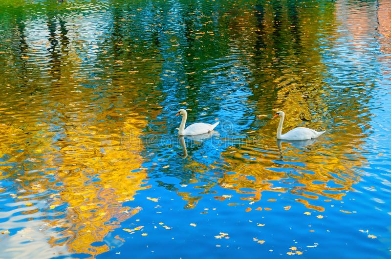 Autumn landscape of Karpiev pond in Summer garden. Swans and ducks swimming in the pond stock photo