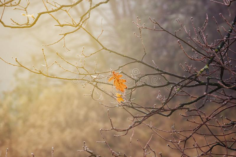 Autumn landscape - Last oak leaf on branch covered with hoarfrost stock photo