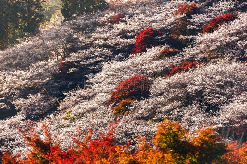 Autumn Landscape mit Shikisakura-Blüte Obara, Nagoya, stockfotografie