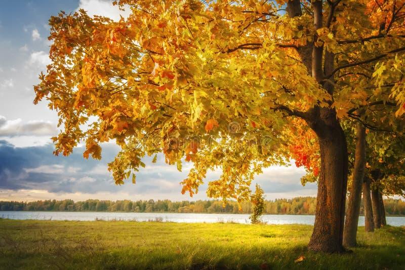 Autumn Landscape Opinión asombrosa sobre árboles amarillos en parque del otoño con la igualación de luz del sol caliente Prado ve foto de archivo libre de regalías