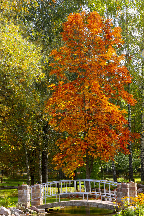 Autumn landscape with orange leaves tree royalty free stock photo