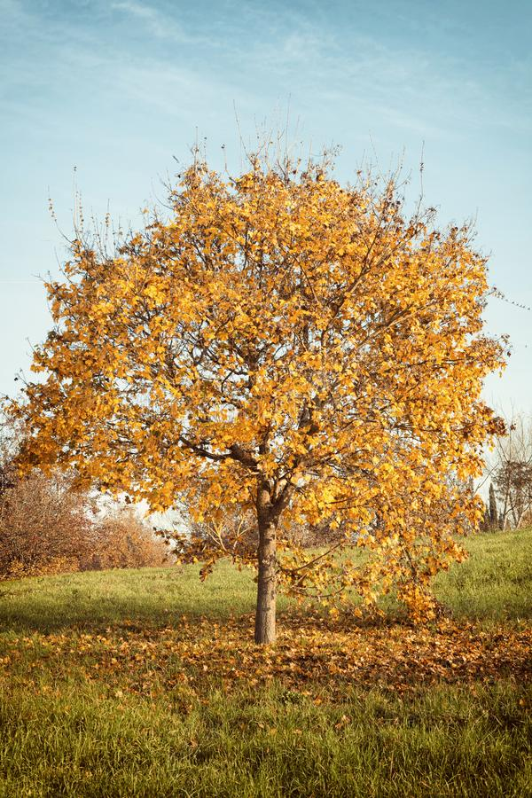 Autumn landscape with orange autumn oak tree royalty free stock photography