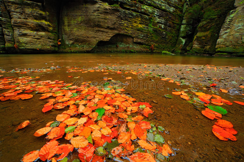 Autumn landscape with orange and yellow leaves in the water, big rock in the background, Kamenice river, in czech national park stock photography