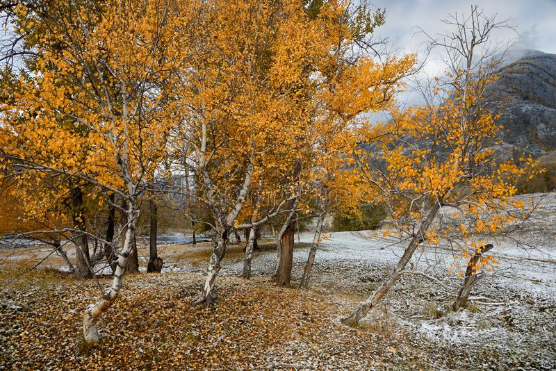 Autumn Landscape With per gruppen av björkar med ljus gul lövverk och nytt stupad snö Berg Autumn Landscape With First S royaltyfri bild