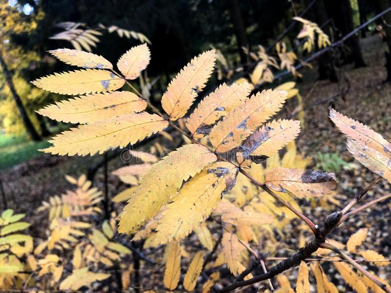 Autumn landscape photography, mountain ash in full beauty, illuminated by the colors of autumn.  stock photo