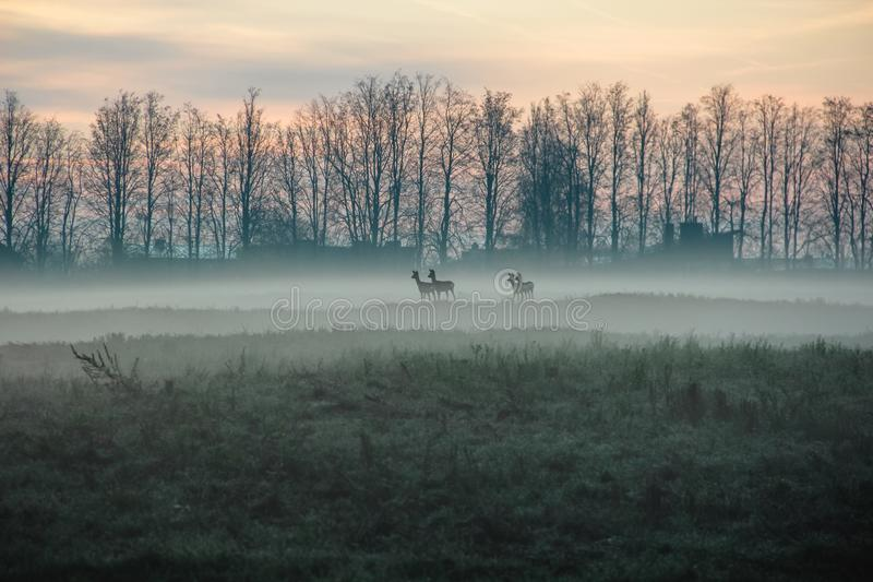 Autumn landscape with 4 roe deers on misty morning stock images