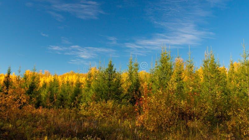 Autumn Landscape ?rvores de pinho na floresta fotografia de stock royalty free