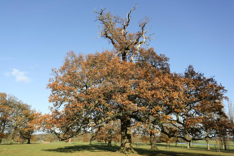 An autumn landscape scenic view of a mighty Oak tree at Woburn, Uk. stock photos