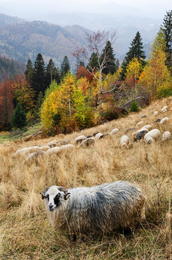 Autumn landscape with a sheep in the mountains stock photo