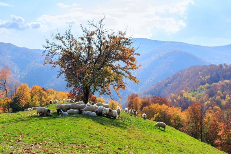 Autumn landscape, sheep, shepard dog royalty free stock images