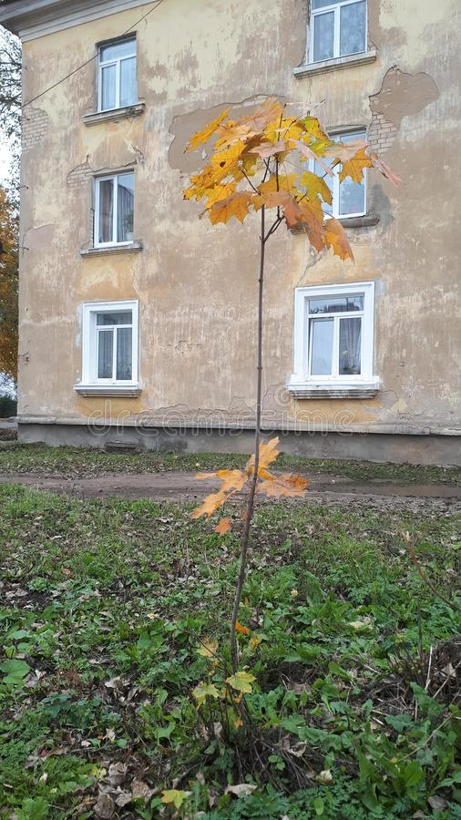 Autumn landscape . small maple on the background of a house. Autumn landscape . small yellow maple on the background of a house stock photos