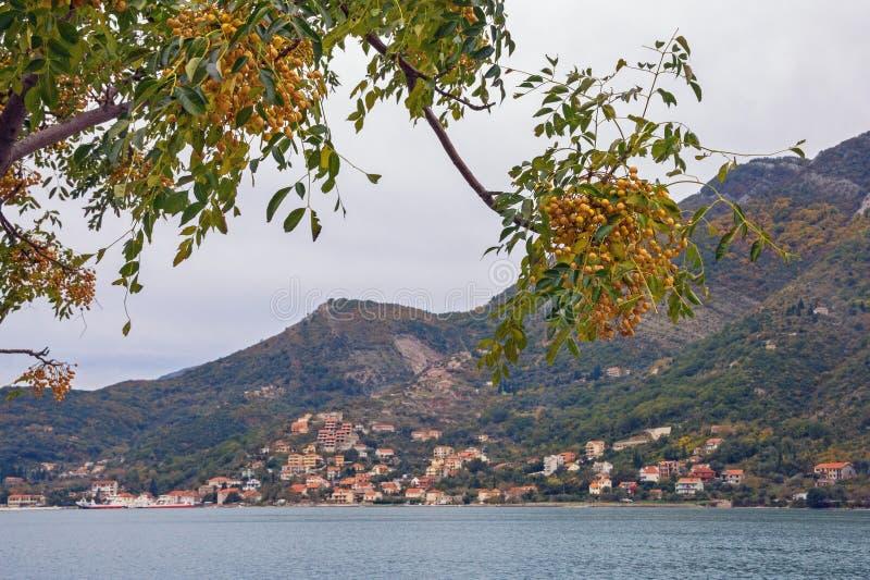Autumn Landscape Tak van bladeren en vruchten van Chinaberry-boom op bewolkte dag Montenegro, Adriatische Overzees, Kotor-Baai stock afbeelding